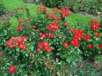 Rose Planten un Blomen • Rosa Planten un Blomen