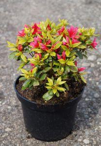 Rhododendron obtusum Kazuko • Japanische Azalee Kazuko