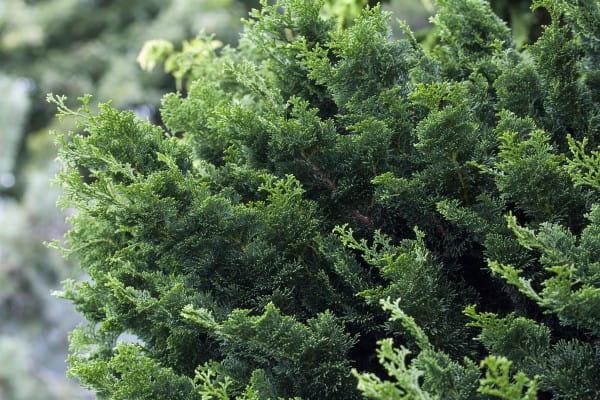 Muschelzypresse Rigid Dwarf • Chamaecyparis obtusa Rigid Dwarf