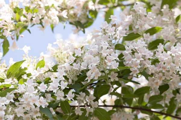Kolkwitzie-Perlmutt-Strauch • Kolkwitzia amabilis