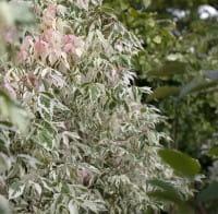 Weißbunter Eschenahorn • Acer negundo Flamingo