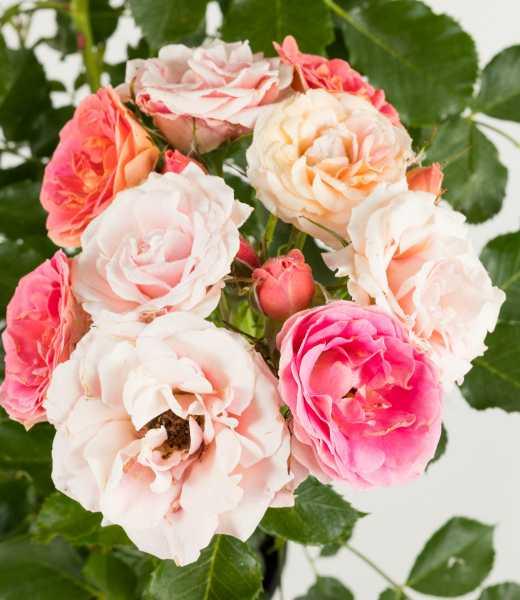 Zwergrose Mandarin • Rosa Mandarin