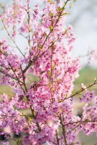 Rosa Winterkirsche Autumnalis • Prunus subhirtella Autumnalis Rosea