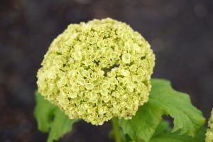 Gemeiner Schneeball • Viburnum opulus