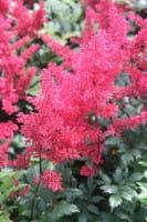 Garten Prachtspiere • Astilbe japonica Montgomery