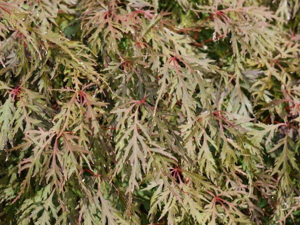 Fächerahorn Orangeola • Acer palmatum Orangeola