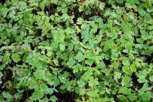 Langspornige Garten Akelei - Aquilegia caerulea Kristall