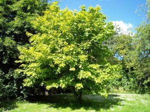 Amerikanischer Streifenahorn • Acer pensylvanicum