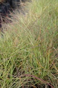 Garten-Chinaschilf Adagio • Miscanthus sinensis Adagio