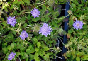 Garten-Tauben-Skabiose Nana • Scabosia columbaria Nana