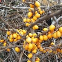 Sanddorn Friesdorfer Orange • Hippophae rhamnoides Friesdorfer Orange
