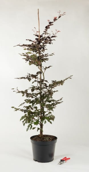 Blutbuche • Fagus sylvatica Purpurea