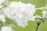 Japanische Schneeball Summer Snowflake • Viburnum plicatum Summer Snowflake