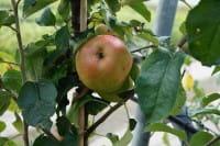 Apfel Roter Berlepsch • Malus Roter Berlepsch