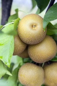 Birne Nashi Hosui • Pyrus pyrifolia Hosui