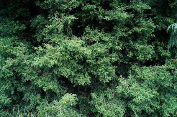 Korallenzypresse • Chamaecyparis obtusa Coralliformis
