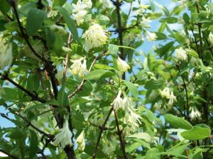 Blaue Heckenkirsche • Lonicera caerulea