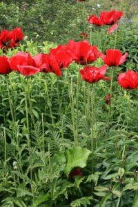 Orientalischer Garten-Mohn Beauty of Livermere • Papaver orientale Beauty of Livermere