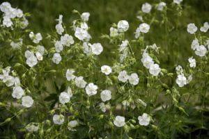Weißer Garten Storchschnabel • Geranium phaeum Album