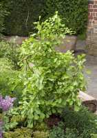 Fächerblattbaum Saratoga • Ginkgo biloba Saratoga