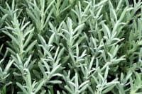 Provence-Lavendel Edelweiß • Lavandula x intermedia Edelweiss