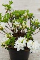 Rhododendron Kermesina Alba • Rhododendron obtusum Kermesina Alba