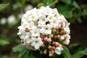 Großblumiger Schneeball • Viburnum carlcephalum