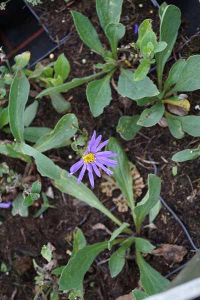Garten Sommer Aster • Aster amellus Blue King