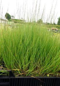 Garten-Pfeifengras Heidebraut • Molinia caerulea Heidebraut