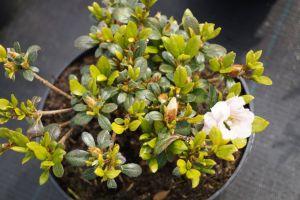 Japanische Azalee Scotian Rosebud • Rhododendron obtusum Scotin Rosebud