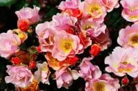 Bodendeckerrose Jazz • Rosa Jazz