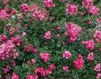 Rose Lovely Fairy • Rosa Lovely Fairy