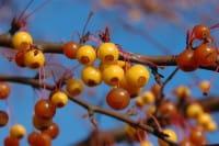 Zierapfel Coccinella • Malus Coccinella