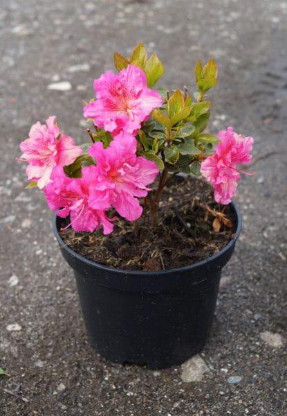 Japanische Azalee Petticoat • Rhododendron obtusum Petticoat