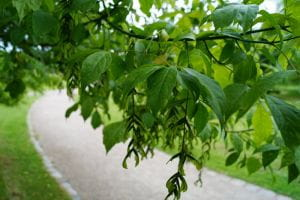 Silberbunter Eschenahorn • Acer negundo Variegatum