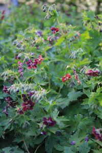 Braunblütiger Storchschnabel • Geranium phaeum