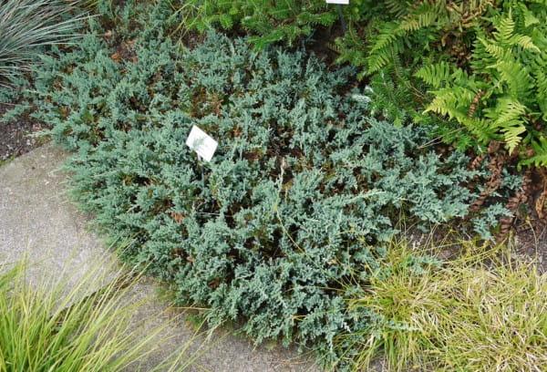 Blauer Teppichwacholder • Juniperus horizontalis Glauca
