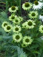 Scheinsonnenhut 'Green Jewel' - Echinacea purpurea 'Green Jewel'
