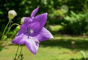 Pfirsichblättrige Glockenblume Grandiflora Coerulea • Campanula persicifolia Grandiflora Coerulea