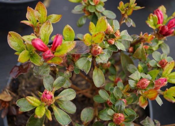 Japanische Azalee Rubinetta • Rhododendron obtusum Rubinetta