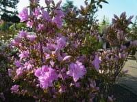Rhododendron Elsie Lee • Rhododendron obtusum Elsie Lee
