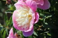 Pfingstrose Bowl of Beauty • Paeonia lactiflora Bowl of Beauty
