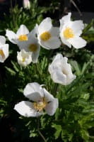 Wald-Windröschen • Anemone sylvestris
