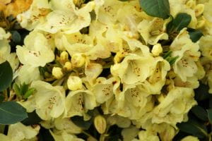 Rhododendron Goldkrone • Rhododendron Hybride Goldkrone
