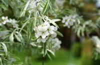 Weidenblättrige Birne • Pyrus salicifolia