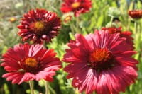 Kokardenblume Burgunder • Gaillardia grandiflora Burgunder