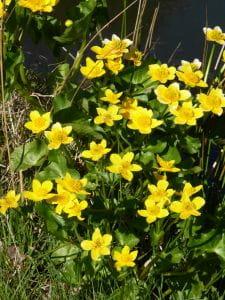 Sumpf Dotterblume • Caltha palustris