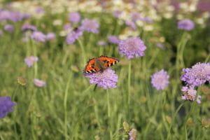 Garten-Tauben-Skabiose • Scabiosa columbaria Butterfly Blue