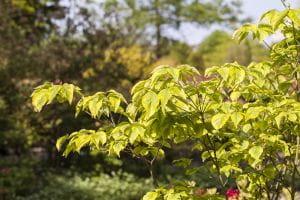 Amerikanischer Blumen- Hartriegel Rainbow • Cornus florida Rainbow