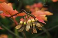 Zuckerahorn • Acer saccharum